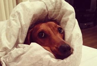 dog-postel