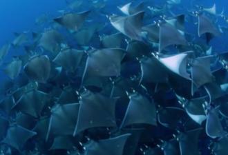 Морские скаты тоже умеют летать