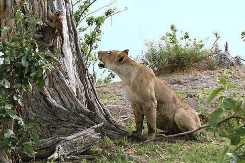 Львица убила бабуина