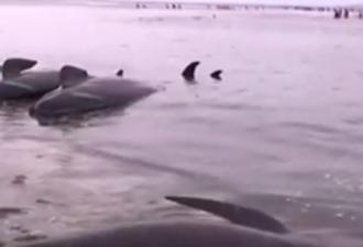Сотни чёрных дельфинов выбросились на берег