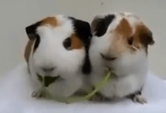 видео морских свинок за трапезой