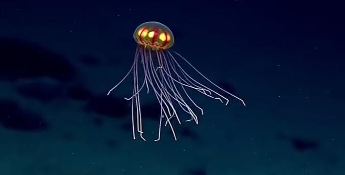 живёт на дне Марианской впадины, медуза