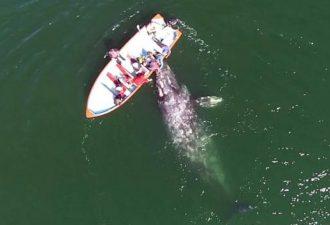 кадры общения серых китов с людьми